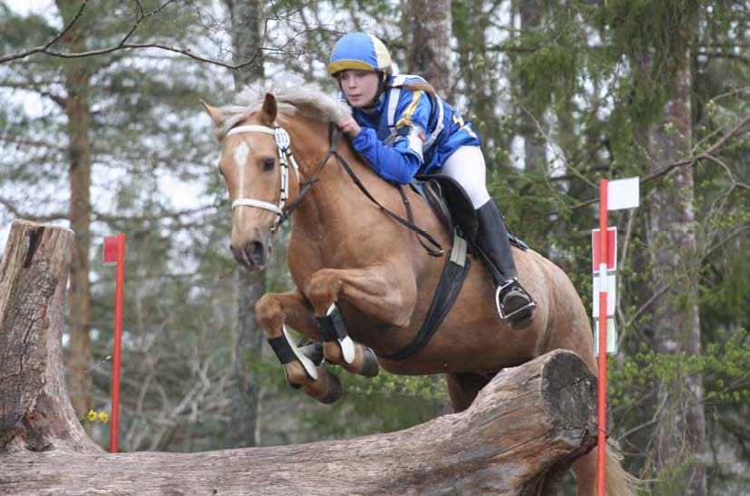 Figure 2: Mosquito R (by Calvin Klein out of Marion Jones S), one of the eventing Connemaras in Sweden. Photo: Jenny Hagenblad
