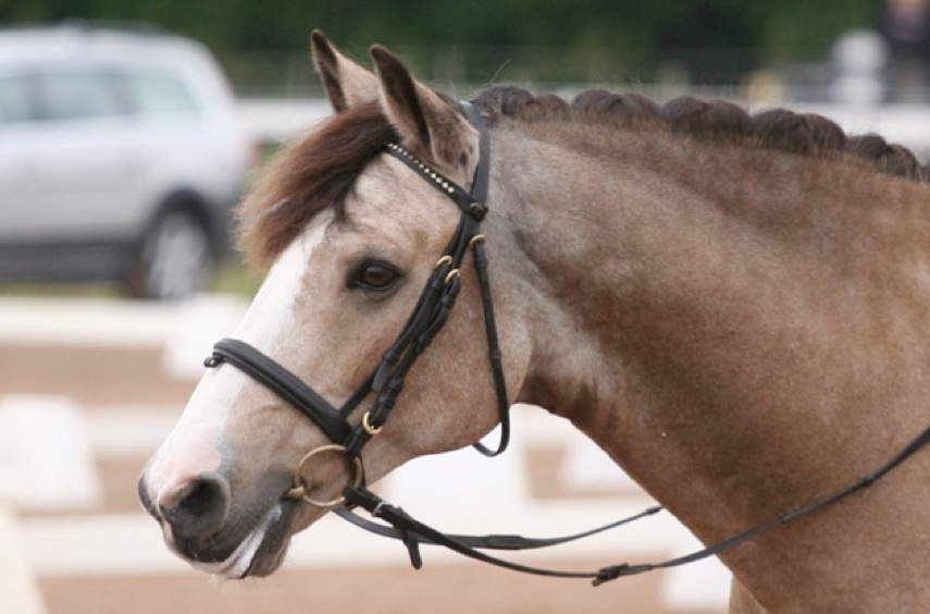 Figure 1: O ̈strahults Benz (by Janus out of O ̈strahults Sonette), 7th best dressage Con- nemara in 2011. Photo: Jenny Hagenblad