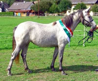 Yearling filly Green-Heart Myra (by El Larry) Reserve Youth Champion of Connemara Show, Champion Young Pony of all pony breeds in Austria
